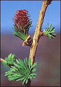 Bach Flower Therapy Remedy Larch